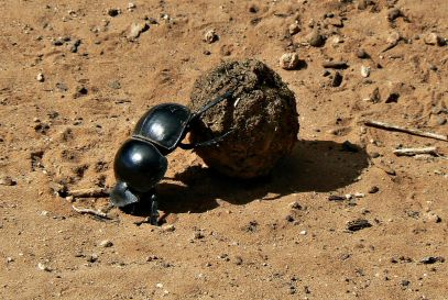 1200px-Flightless_Dung_Beetle_Circellium_Bachuss,_Addo_Elephant_National_Park,_South_Africa